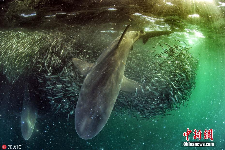 鲨鱼在沙丁鱼风暴捕食