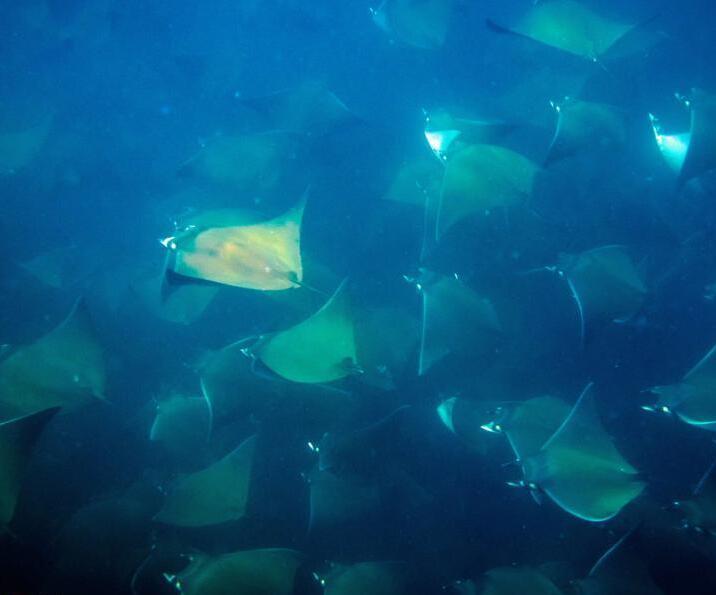潜水员邂逅成群蝠鲼