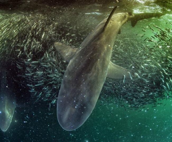 鲨鱼在沙丁鱼风暴中捕食