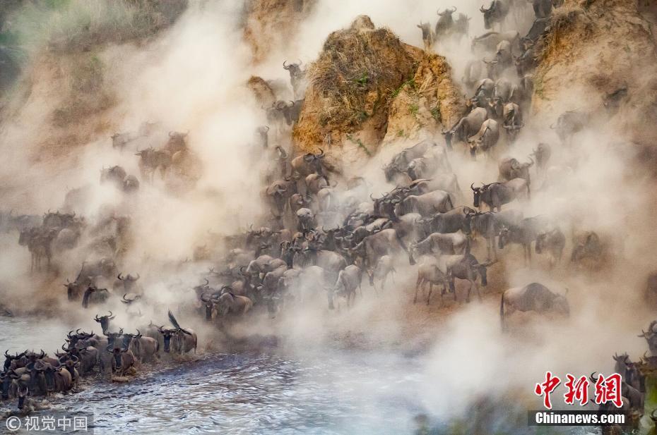 非洲8万牛羚大军正迁徙 尘土飞扬勇渡致命河流