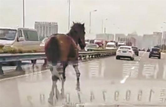 武汉交通要道惊现小马来回奔跑 车辆纷纷避让