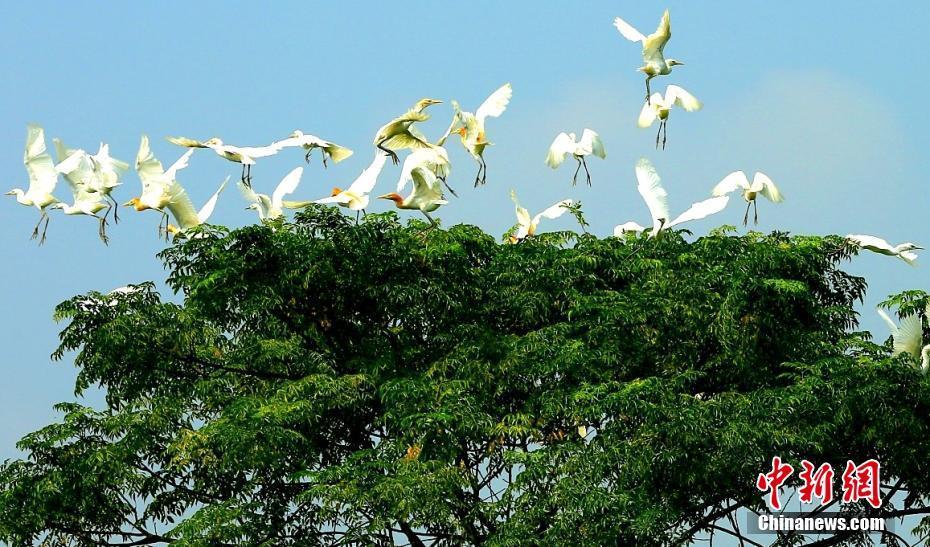 江西泰和良好生态吸引白鹭安家筑巢
