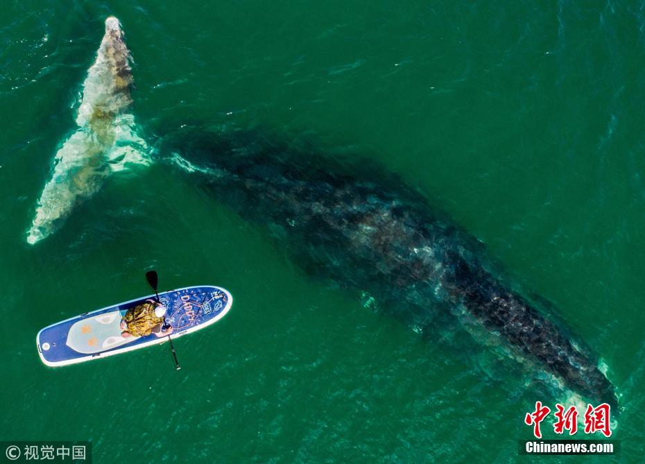 航拍俄罗斯海湾弓头鲸 海洋巨兽与冲浪者同游
