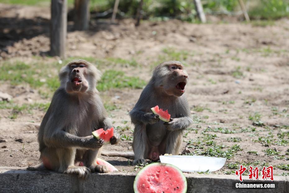 动物园居民吃瓜消暑