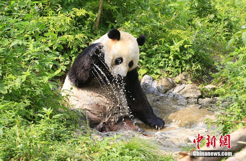 熊猫玩耍姿态十分可爱