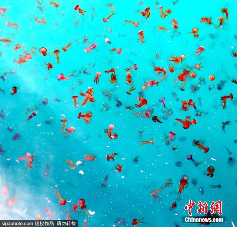 西班牙出现大量水母
