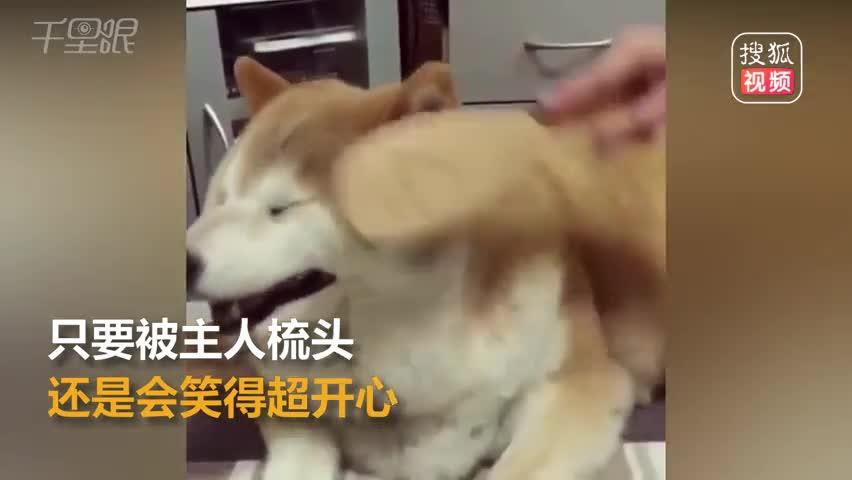 年迈柴犬超喜欢梳头