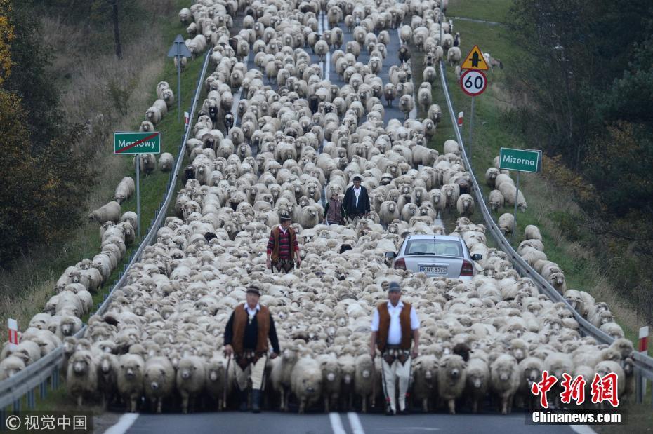 绵羊大军行万米回农场