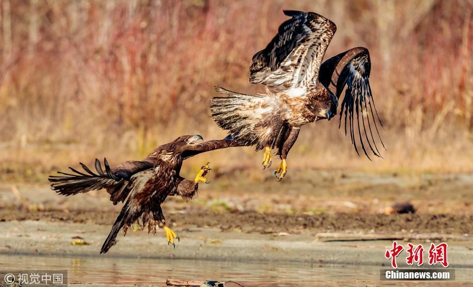 两鹰争夺食物大打出手