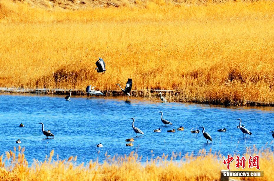 青海格尔木湿地野生鸟类种群繁衍生息 苍鹭翩翩飞舞