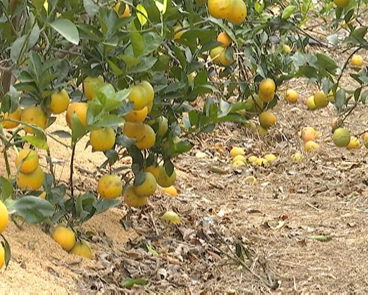 上万斤甜橙滞销 新会果农无奈低价出售