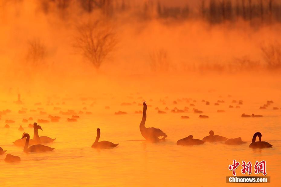 新疆雾气中天鹅起舞