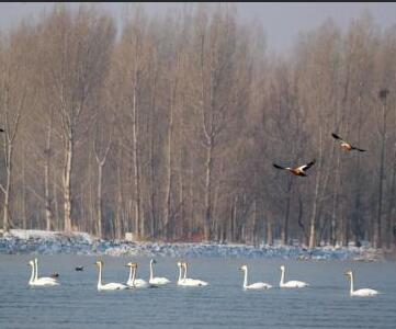 候鸟安家黑河悠然越冬