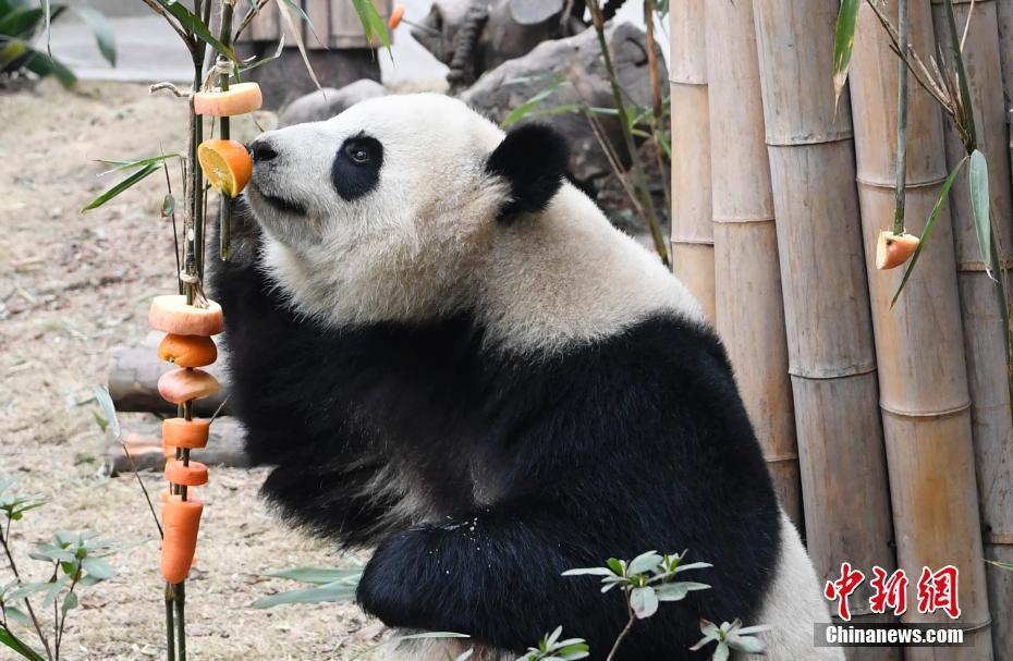 大熊猫基地办新春活动