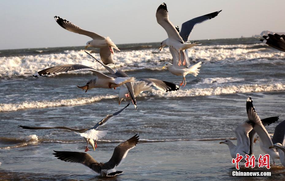 海鸥栖息烟台海滨