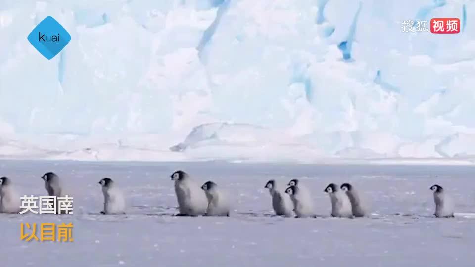 因氣溫升高!80年內超半數帝企鵝會死亡
