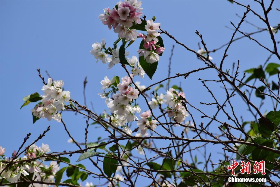 武汉大学樱花反季节绽放 花朵成簇挂枝头
