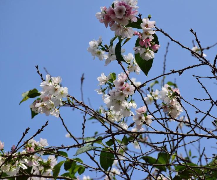 武漢大學櫻花反季節綻放