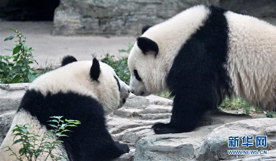 雙胞胎大熊貓落戶北京