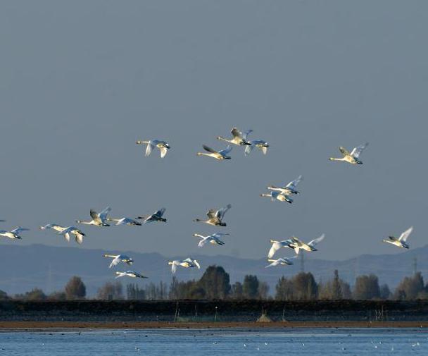 大天鵝飛抵黑河濕地越冬