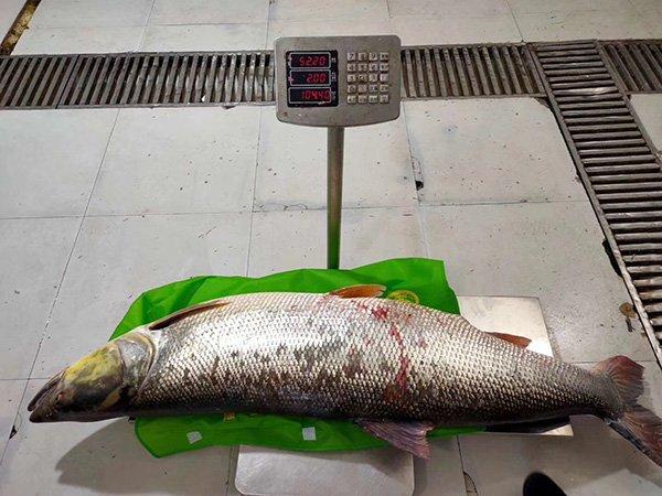 丹江口水库捕获104斤鱤鱼,渔业公司员工:30年第一次见