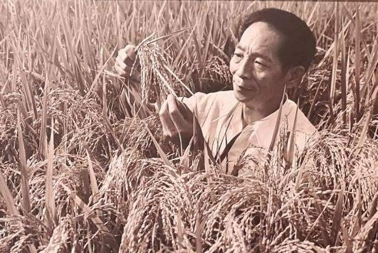 新中国峥嵘岁月|攻克杂交水稻难关
