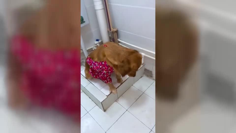 狗狗蹲廁所的姿勢像個孩子一樣
