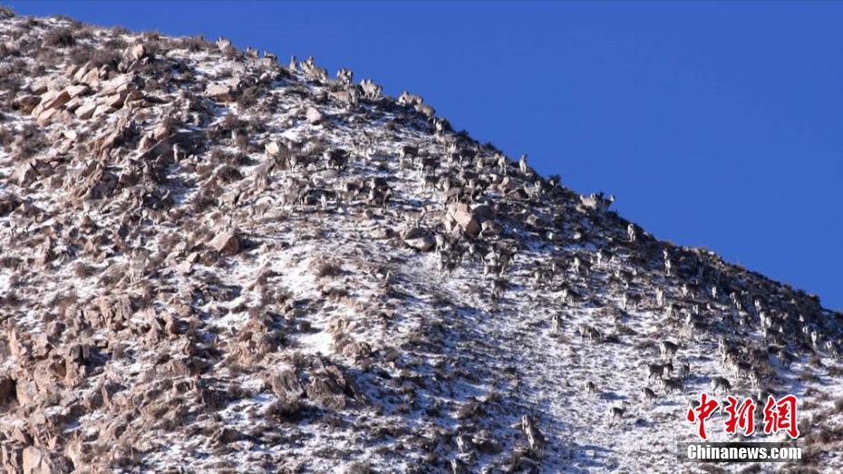数百只岩羊高山觅食