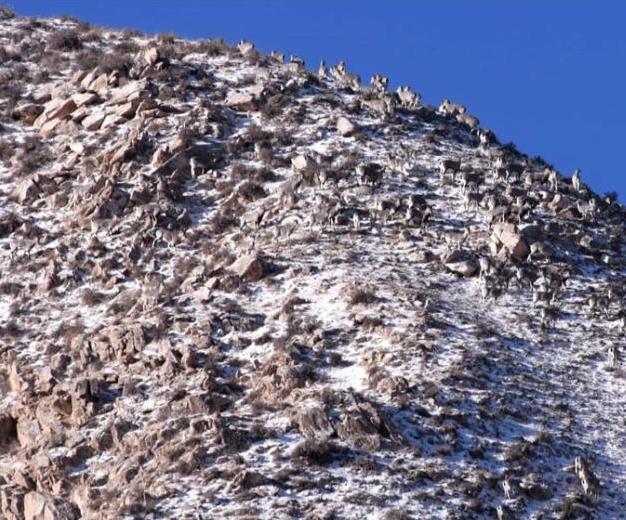 甘肅數百只巖羊高山覓食