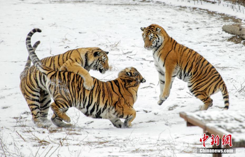 哈尔滨东北虎雪地撒欢