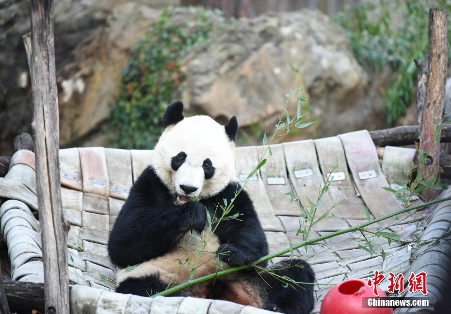 旅美大熊貓貝貝回國