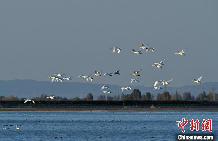 戈壁湿地天鹅觅食戏水
