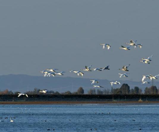 戈壁濕地天鵝覓食戲水中