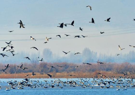 """黑河濕地成候鳥""""樂園"""" 初冬時節萬鳥齊舞"""
