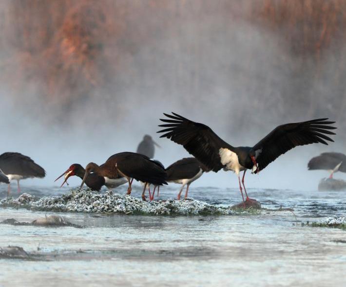 黑鸛綿蔓河棲息過冬