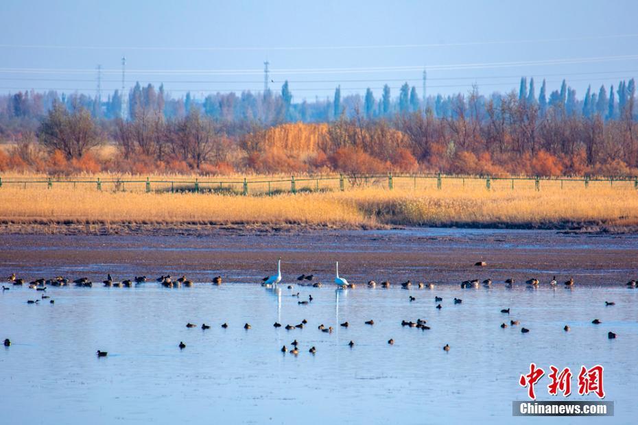 甘肅黑河濕地秋色美