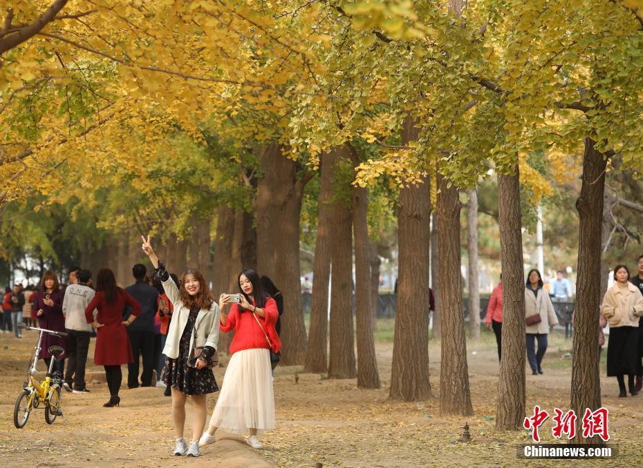 北京钓鱼台银杏大道秋色吸引市民观赏拍照