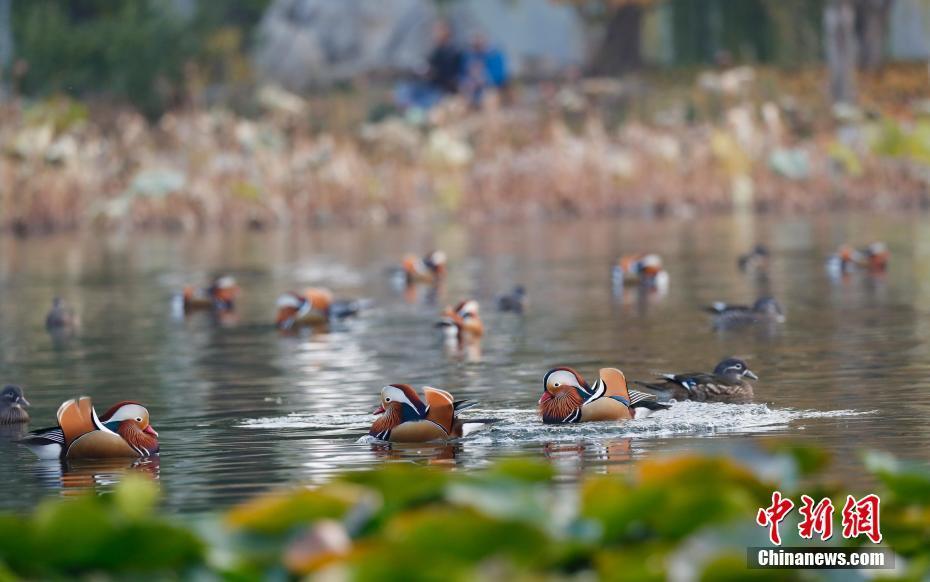 大批鸳鸯飞抵北京玉渊潭公园吸引游人前来观鸟