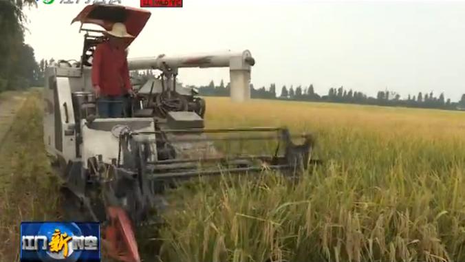 新會區試種袁隆平超級雜交水稻新品種收割驗收  最高畝產量接近835公斤