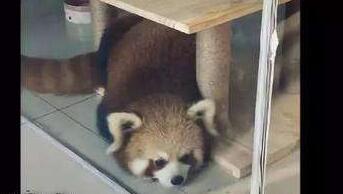 重慶一咖啡館疑飼養野生動物 林業部門已開展調查