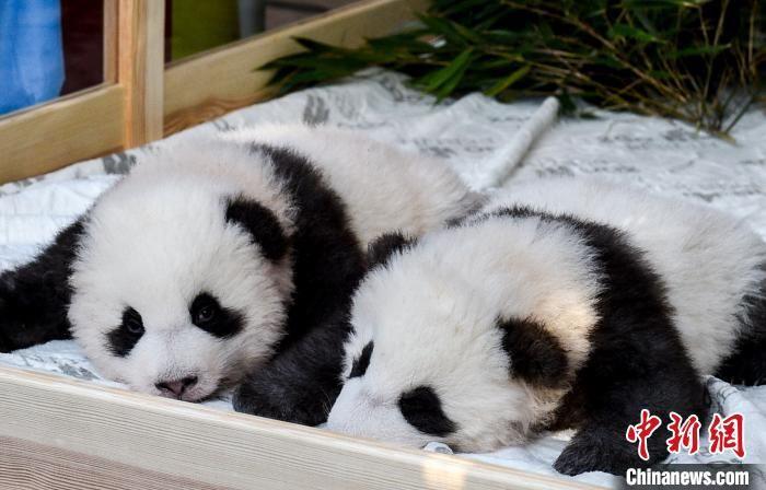 """旅德新生大熊猫双胞胎入围""""全球大熊猫奖""""(图)"""