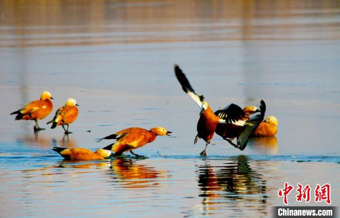 甘肅戈壁濕地候鳥冰面嬉戲萌態十足