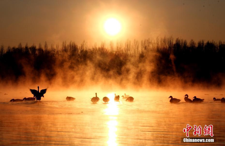 過冬大雁棲息遼寧沈陽