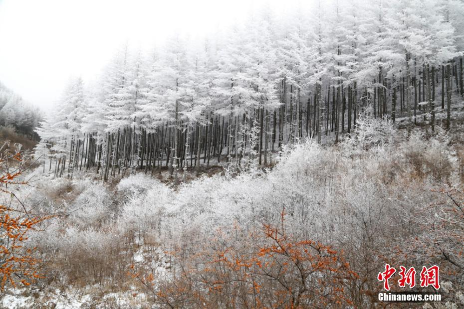 甘肅霧凇壓樹枝