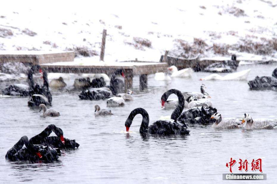 甘肃张掖湿地天鹅戏雪