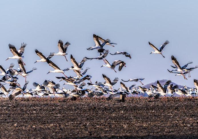 北疆兴凯湖流域迎来历年最大东方白鹳迁徙种群