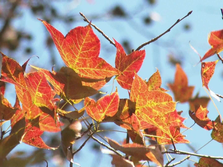 冷空气来袭 圭峰山枫叶开始泛红