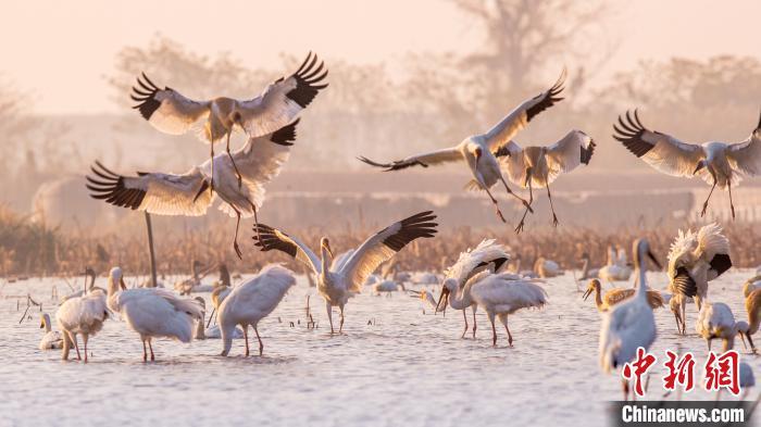 候鳥飛抵鄱陽湖越冬