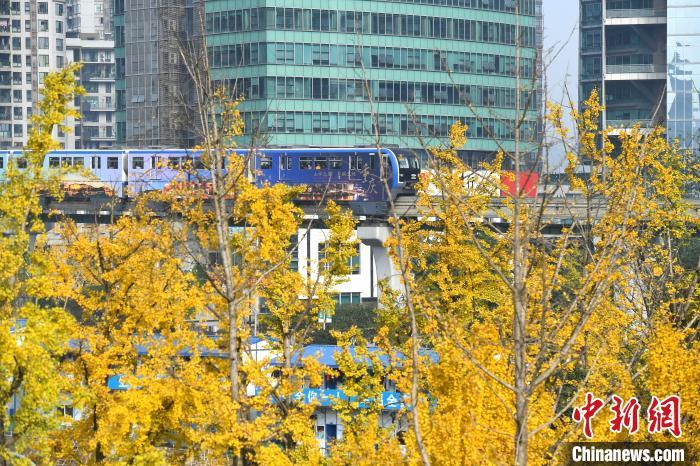重庆街头金黄树叶美景