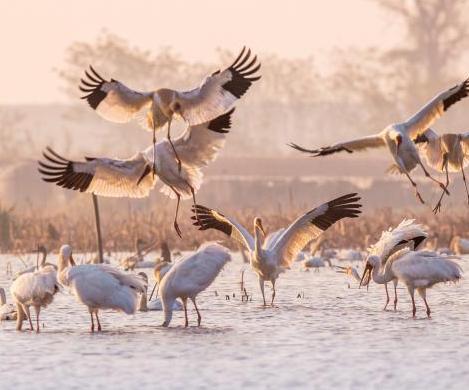 候鳥飛抵江西鄱陽湖越冬